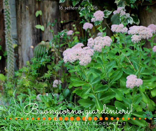 sedum spectabile (sedum spectabilis) - il giardino dalla A alla Z -  i fiori della settimana - un giardino in diretta