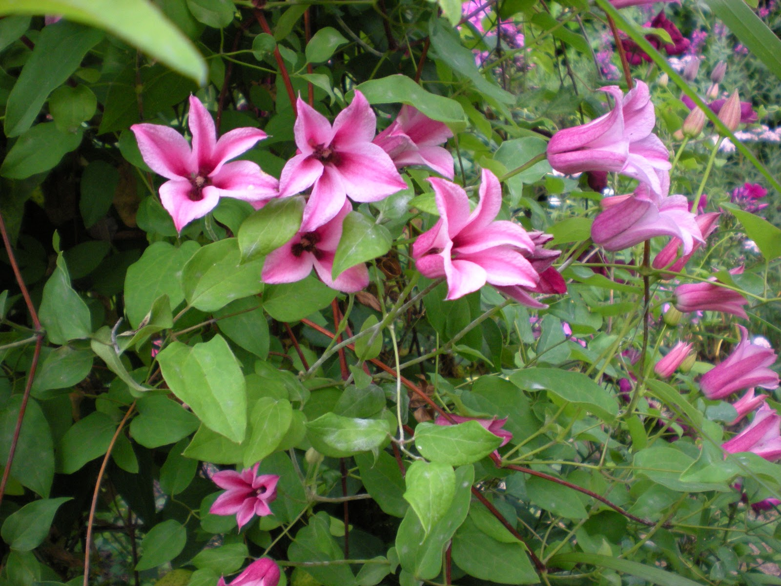 Gardening with grace clematis - Clematis viticella ...