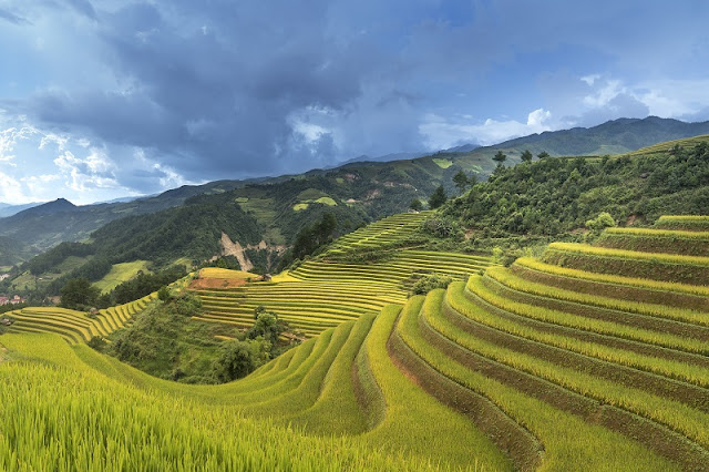The golden rice fields during harvesting seasons in Northern Vietnam