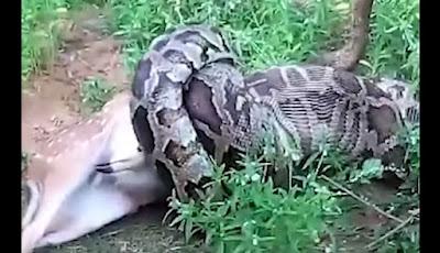 Piton makan rusa