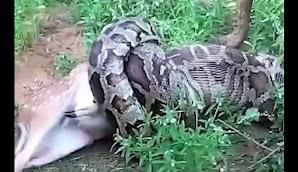 Video Mengerikan, Ular Piton Makan Rusa Utuh