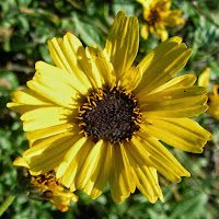 Bush sunflower (Encelia californica) near Mt. Hollywood, Griffith Park