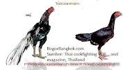 Ayam Bangkok Jenis Ayam Jago dan Betina