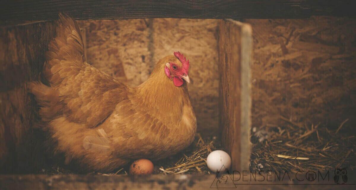 Debat Telur atau Ayam Duluan Akhirnya Selesai: Ini Jawaban Ilmiahnya