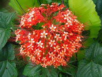 Bunga pagoda/Clerodendrum (Thunb.) Sweet.