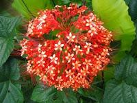 Manfaat tanaman Bunga Pagoda