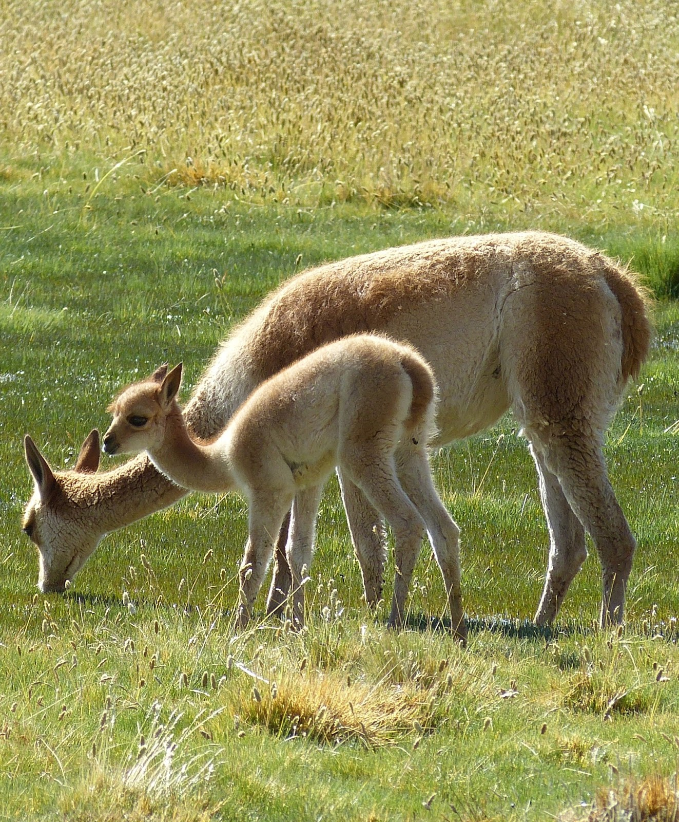 Picture of a vicuna and her cub.