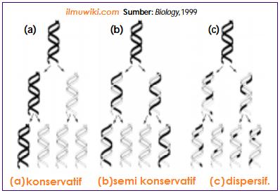 3 teori yang menyatakan cara duplikasi DNA - konservatif, semi konservatif, dispersif