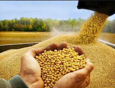 Cara Budidaya Tanaman Kacang Kedelai