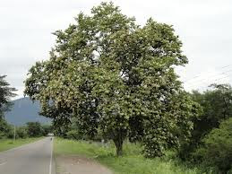 Pata de vaca Bauhinia forficata