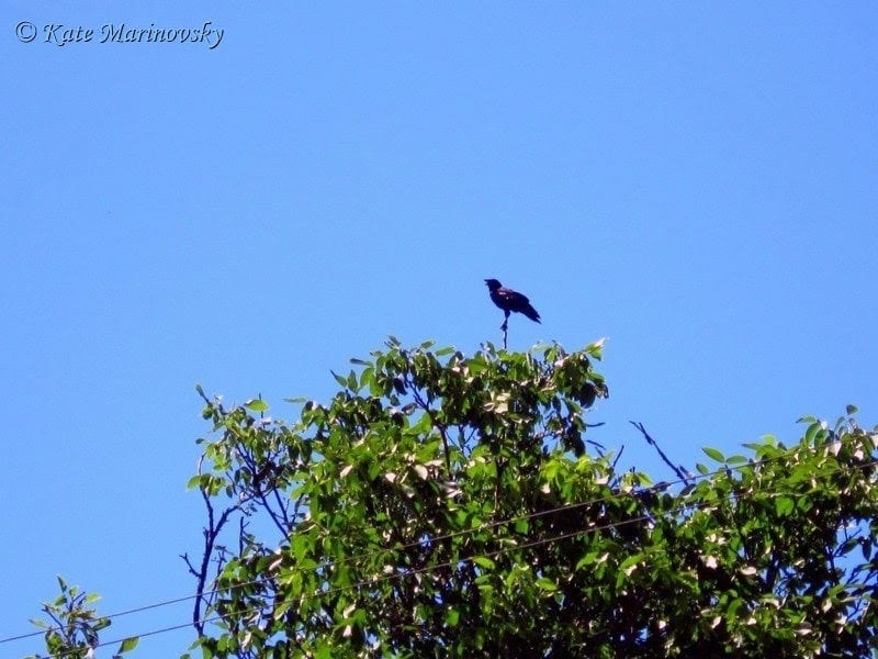 Crow on the top of tree in summer day