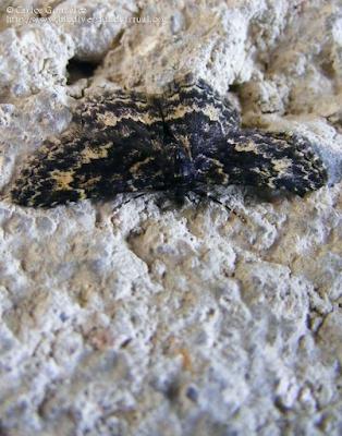 http://www.biodiversidadvirtual.org/insectarium/Parascotia-lorai-img471335.html