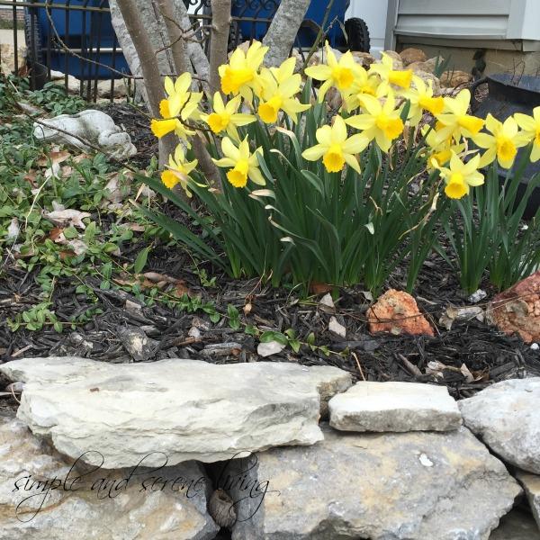 spring daffodils yellow stone wall