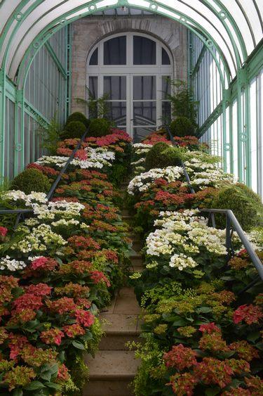 Hydrangea en el Palm Pavilion en Invernaderos Reales de Laeken