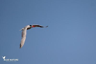 Pagaza piquirroja (Hydropogne caspia) sobrevolando la costa en la playa de El Goleró. Blue Nature