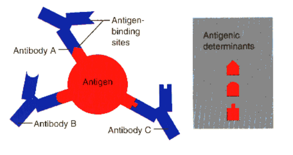 Pengertian, Fungsi, Jenis Serta Hubungan Antigen dan Antibodi Pada Sistem Pertahanan Tubuh