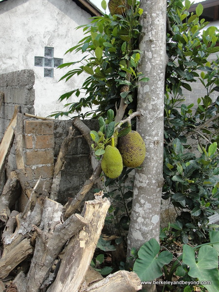 jack fruit in Penglipuran Village in Bali, Indonesia