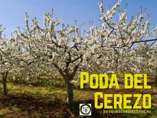 Te explicamos como se poda el cerezo, tiempo y tipos de poda
