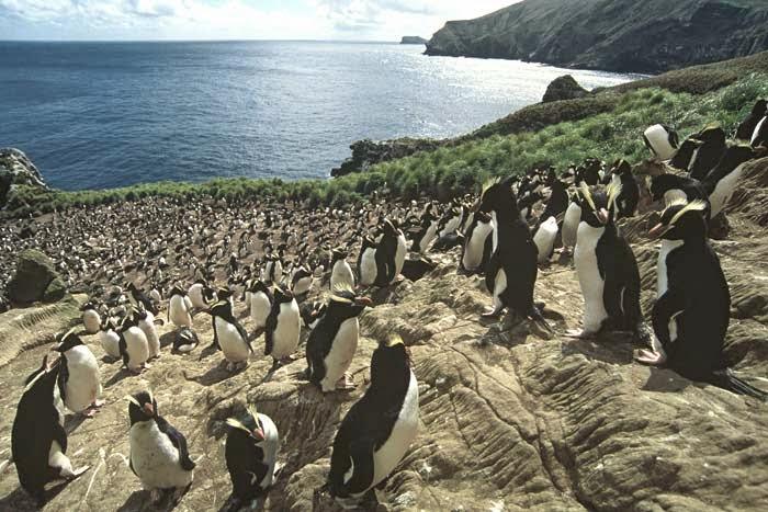 Пингвины на островах Антиподов