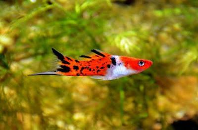 Gambar Ikan Platy Sanke