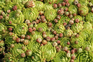Sempervivum marmoreum - Sempervivum erythraeum