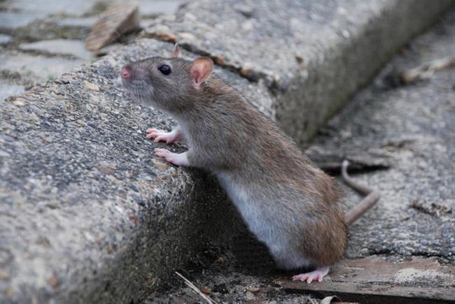 Penelitian Wild rats ignore predation threats in familiar environments