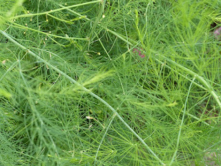 Asperge sauvage - Asperbe en ombelle - Asparagus umbellulatus