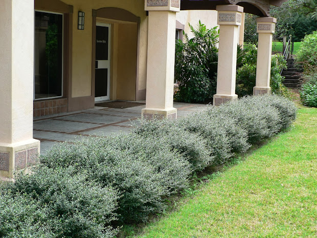 small evergreen shrubs landscaping
