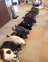 La dieta ad eliminazione nel gatto