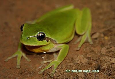 Ranita meridional (Hyla meridionalis)