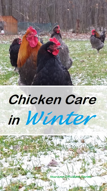 Chicken Care in Winter