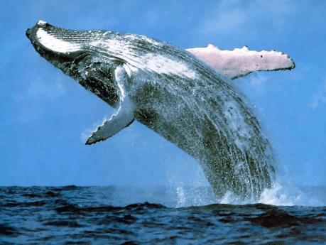 Ikan Paus Mengenal Ikan Paus Mamalia Yang Hidup Di Air Ikan Paus