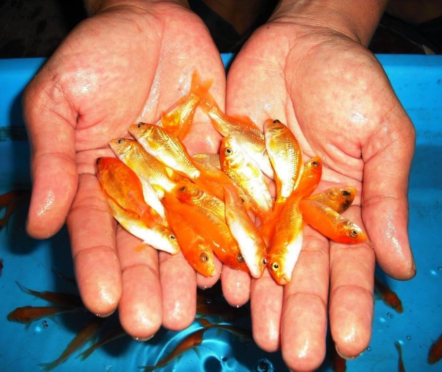 Cara Membuat Umpan Ikan Mas Terbaik Ampuh Resep Umpan Ikan Paling Jitu