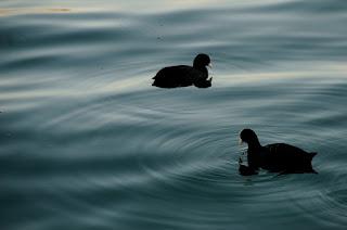 2 Coots wading in Geneva Lake