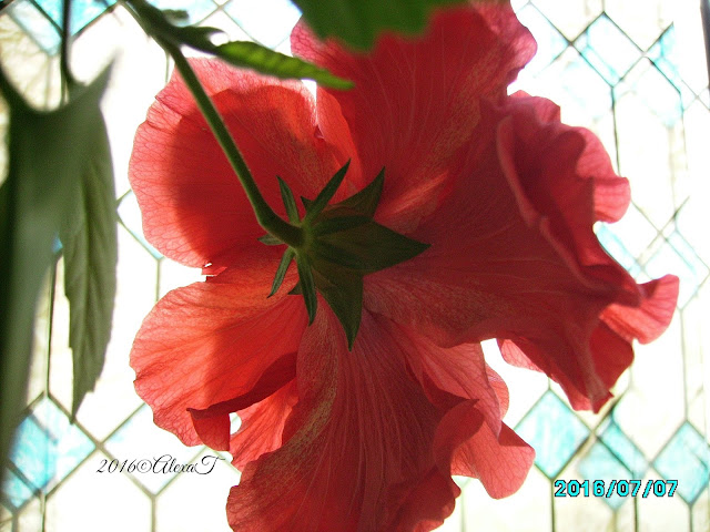 A new session of hibiscus blossoms, in July.