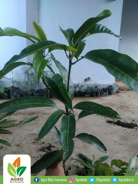 Tanaman - Bibit Mangga Irwin 60cm