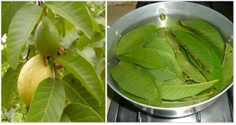 guava-leaves-for-hair-loss