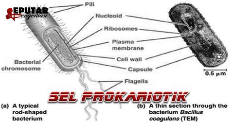 Pengertian Sel Prokariotik Serta Struktur Dan Bagiannya
