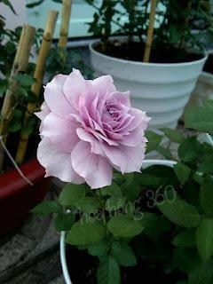 kỹ thuật chăm sóc hoa hồng