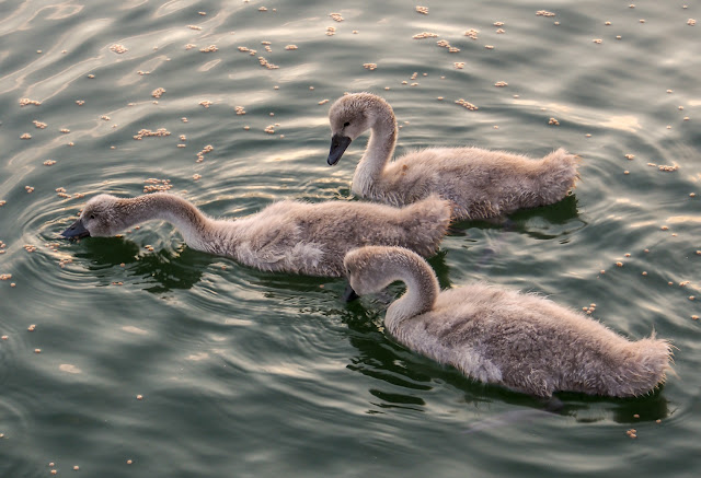 Photo of the cygnets enjoying their food