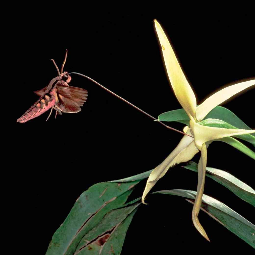 orchidee etoile de madagascar