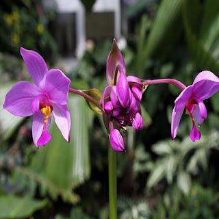 Gambar Bunga Anggrek Tercantik di Dunia 1