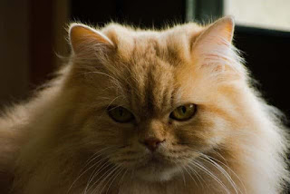 Cara merawat kucing anggora dengan baik