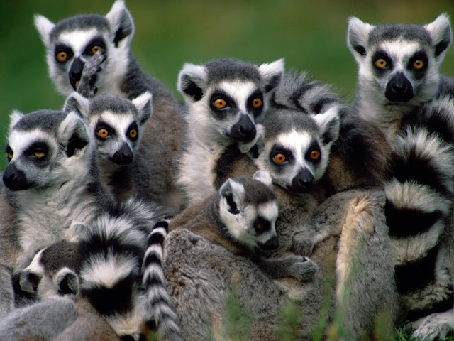 Lemur facts and information 1