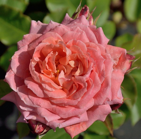 Fleurs en Seine сорт розы фото саженцы