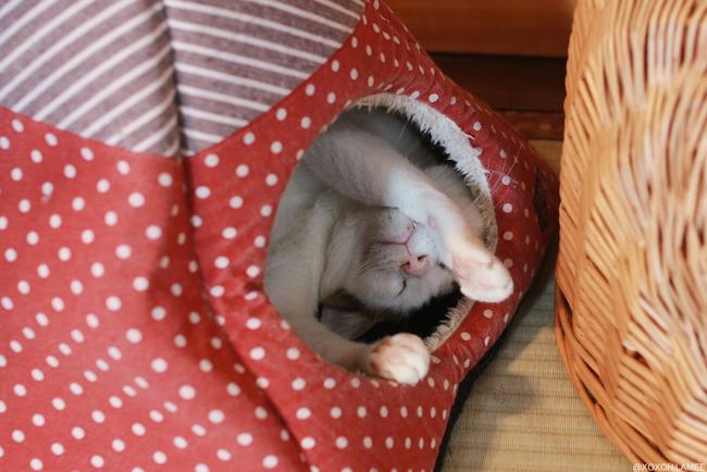 保護猫カフェ、ネコリパブリック東京、お茶の水 ばんざい いっちゃん