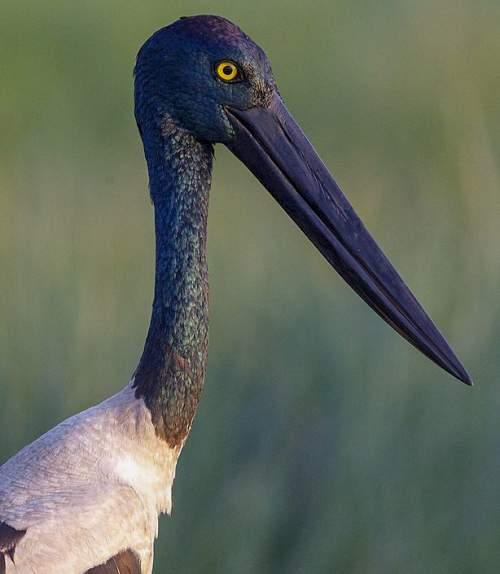 Black-necked stork - Ephippiorhynchus asiaticus