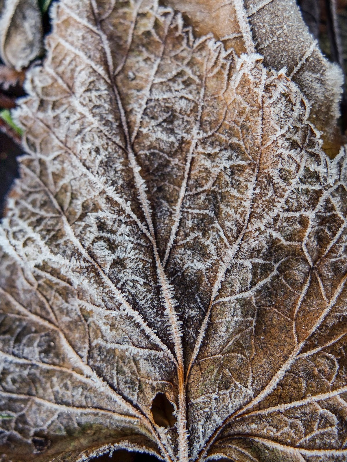 A close up of frost on a Maple tree leaf.