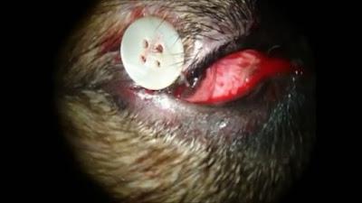 Teknik Operasi Pada Kasus Corneal Dermoid pada Hewan
