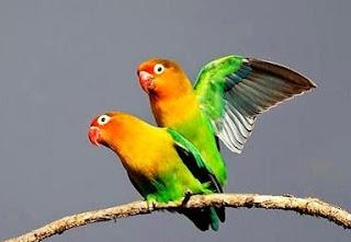 cara merawat lovebird buat lomba,cara merawat lovebird anakan,cara merawat lovebird bertelur,cara merawat lovebird juara,cara merawat lovebird over birahi,cara merawat lovebird biar cepat gacor,